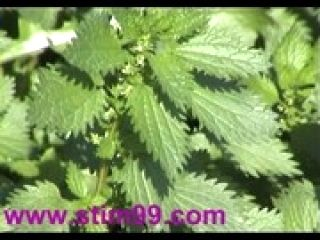 Heavy Nettles self Torture Nipples &amp  Pussy stinging Nettle